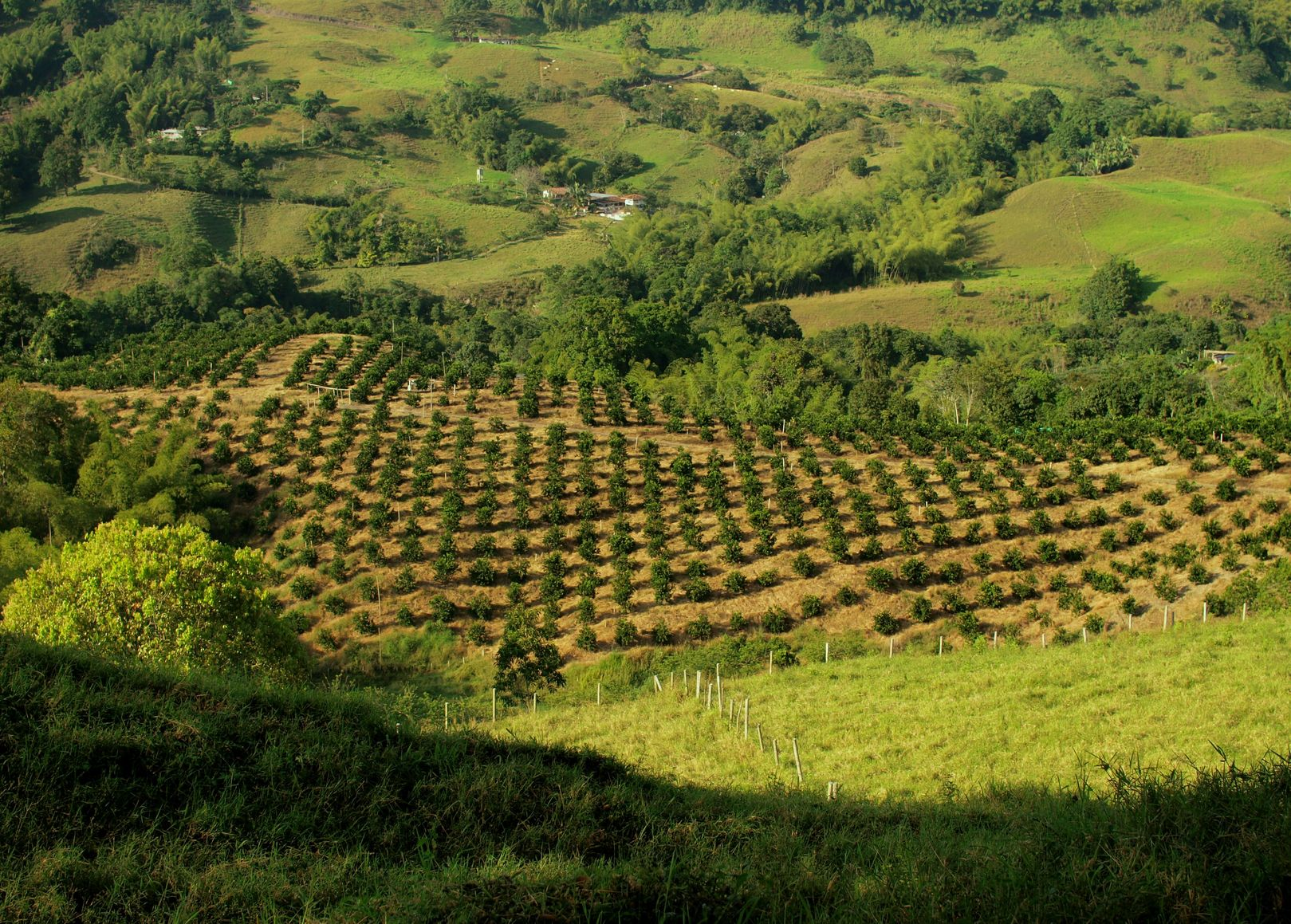 Coffee plantation landscape Сан-Кристобаль (Чатем)[1]